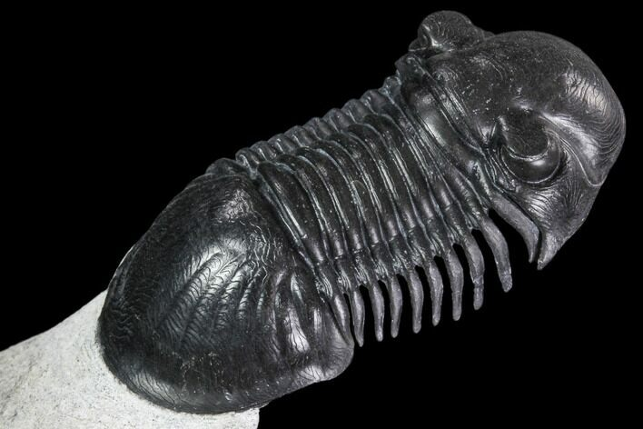 "2.15"" Paralejurus Trilobite Fossil - Unreal Preparation"