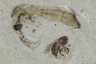 ".4"" Fossil Cranefly And Wasp- Green River Formation, Utah For Sale, #108812"