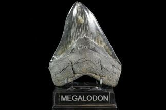 "Serrated, 5.85"" Fossil Megalodon Tooth - Huge Meg Tooth For Sale, #108842"