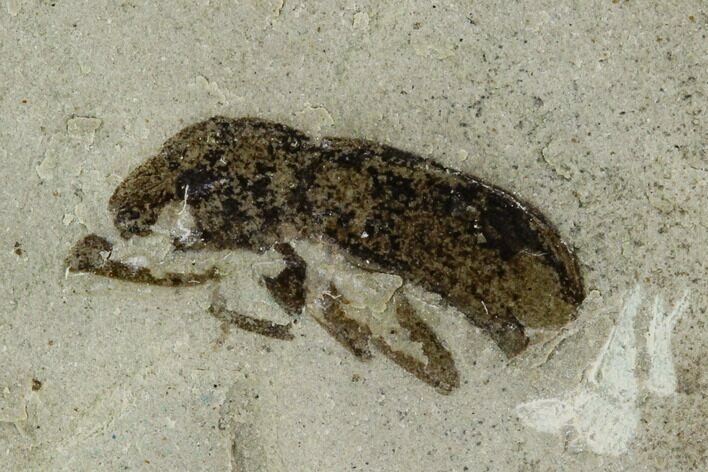 ".42"" Fossil Weevil (Curculionoidae) - Green River Formation, Utah"