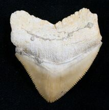 Squalicorax Fossil Shark Tooth - Morocco For Sale, #7739