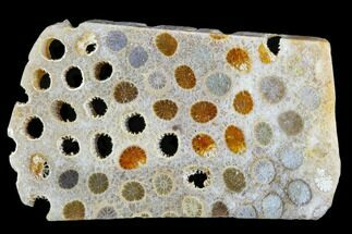 "Buy 2.9"" Polished, Fossil Coral Slab - Indonesia - #109150"
