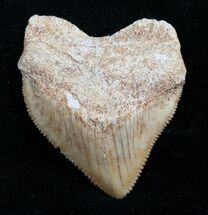 Squalicorax Fossil Shark Tooth - Morocco For Sale, #7745