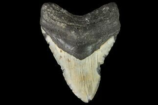 Carcharocles megalodon - Fossils For Sale - #108972
