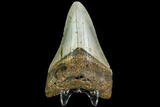 "3.41"" Fossil Megalodon Tooth - North Carolina For Sale, #109019"