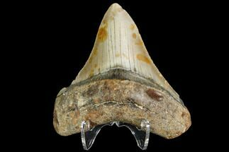 Carcharocles megalodon - Fossils For Sale - #109038