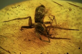 Buy Fossil Spider (Araneae)  In Baltic Amber - #109456