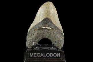 "Buy 5.13"" Fossil Megalodon Tooth - North Carolina - #109732"