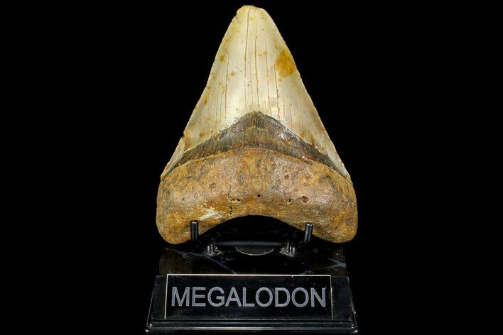 "5.1"" Fossil Megalodon Tooth - North Carolina"