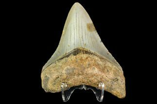 Carcharocles megalodon - Fossils For Sale - #109893