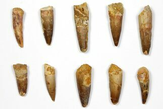 "Buy Wholesale Lot: 1.4 to 2.1"" Bargain Spinosaurus Teeth - 10 Pieces - #108544"