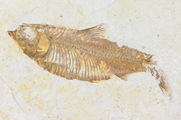 "4.0"" Fossil Fish (Knightia) - Wyoming"