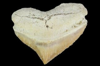 "1.19"" Fossil Crow Shark (Squalicorax) Tooth- Morocco For Sale, #110084"