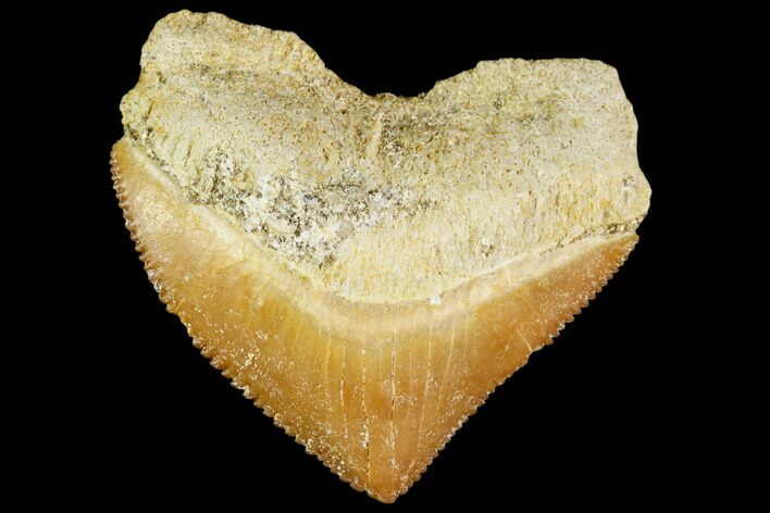 "1.22"" Fossil Crow Shark (Squalicorax) Tooth- Morocco"