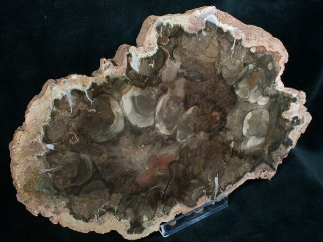 Rare Rhexoxylon Petrified Wood From Zimbabwe - 9.3""