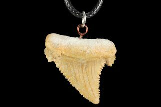 "1.3"" Fossil Shark (Palaeocarcharodon) Tooth Necklace -Morocco For Sale, #110234"