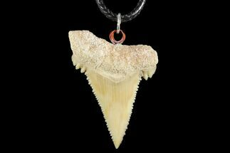 "Buy 1.54"" Fossil Shark (Palaeocarcharodon) Tooth Necklace -Morocco - #110251"