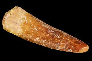 "1.6"" Spinosaurus Tooth - Real Dinosaur Tooth For Sale, #110318"