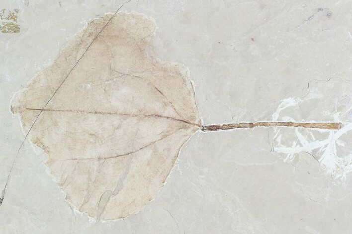 "4.2"" Fossil Leaf (Populus)- Green River Formation, Utah"