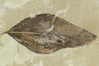 "2.2"" Fossil Leaf (Celtis)- Green River Formation, Utah For Sale, #110393"