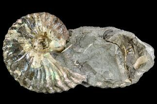 "1.3"" Iridescent Hoploscaphites Ammonite - South Dakota For Sale, #110567"
