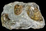 ".65"" Hoploscaphites Ammonite - South Dakota - #110574-2"