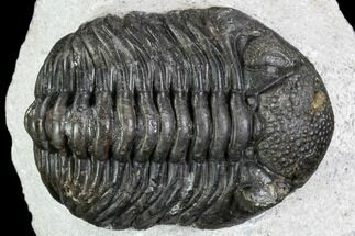 "Bargain, 2.5"" Pedinopariops Trilobite - Mrakib, Morocco For Sale, #110666"