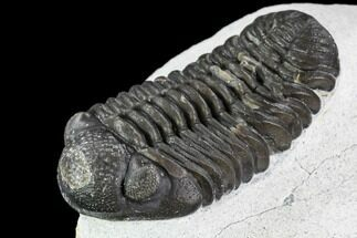 Adrisiops weugi - Fossils For Sale - #110709