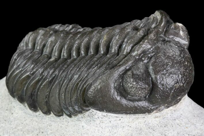"1.75"" Adrisiops Weugi Trilobite - Recently Described Phacopid"