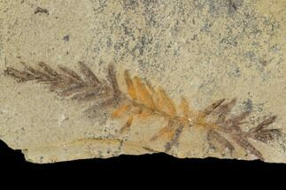 Metasequoia (Dawn Redwood) - Fossils For Sale - #110871