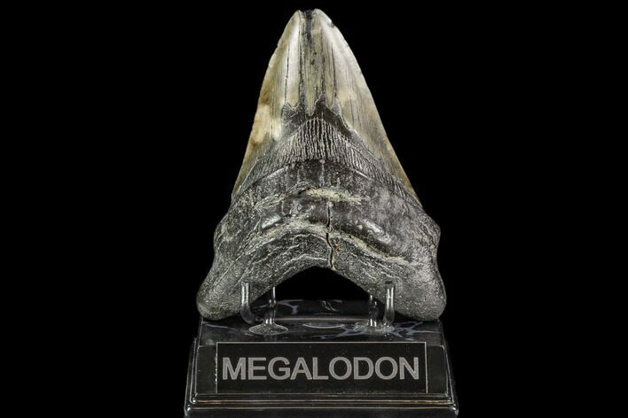 "5.05"" Fossil Megalodon Tooth - South Carolina"