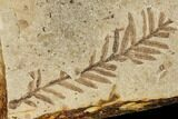 Fossil Metasequoia And Alder Plate- Cache Creek, BC - #110913-1