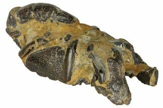 "Buy 4.3"" Fossil Mud Lobster (Thalassina) - Australia - #109294"