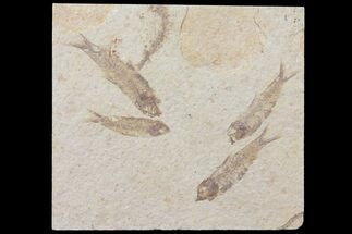Buy 5 Fossil Fish (Knightia) Plate- Wyoming - #111238
