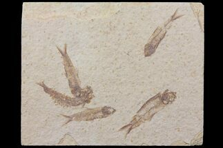 5 Fossil Fish (Knightia) Plate- Wyoming For Sale, #111239