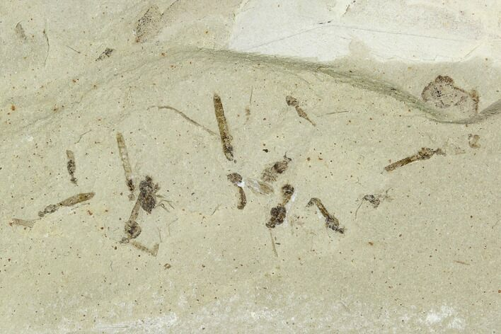Fossil Insect Cluster (Flies, Beetle) - Green River Formation, Utah