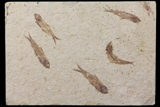"Buy 7.7"" Shale With Five Fossil Fish (Knightia) - Wyoming - #111247"