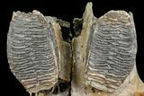 "13.2"" Juvenile Woolly Mammoth Jaw Section - North Sea - #111757-4"