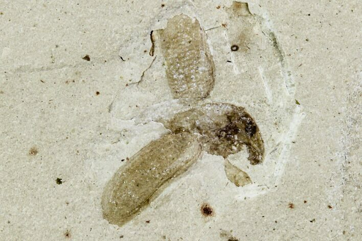 ".2"" Fossil Weevil (Snout Beetle) - Green River Formation, Utah"