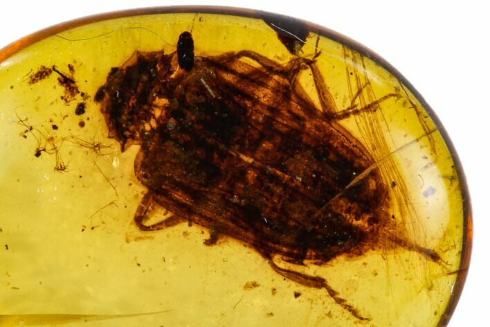 Fossil Beetle (Coleoptera) In Amber - Myanmar