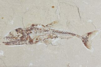 Eurypholis boissieri - Fossils For Sale - #112653