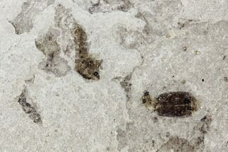 Buy Fossil Beetle (Coleoptera) Cluster - Green River Formation, Utah - #109123