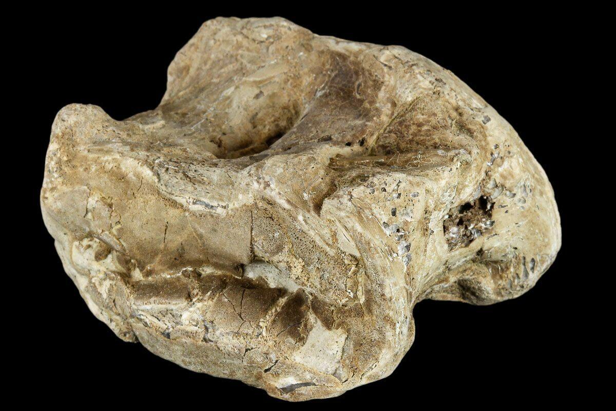 "2.1"" Cretaceous Fossil Fish (Xiphactinus) Vertebra ..."