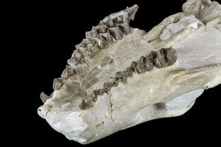 "6.3"" Oreodont (Merycoidodon) Partial Skull - Wyoming For Sale, #113033"