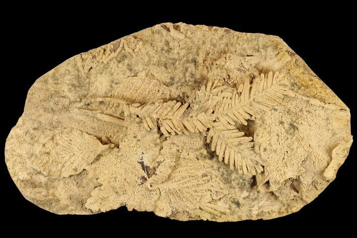 "12.7"" Plate Of Fossil Pine Branches & Leaves In Travertine - Austria"