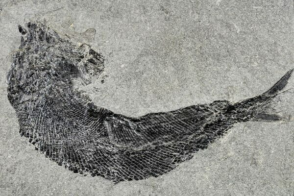 Permian fossil fish (Paramblypterus) from Germany.
