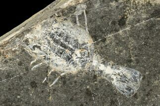 "Buy .9"" Shrimp-Like Crustacean (Tealliocaris) Fossil - Scotland - #113212"