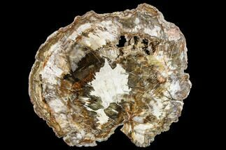"Buy 9.7"" Petrified Wood (Araucaria) Round - Madagascar  - #113269"
