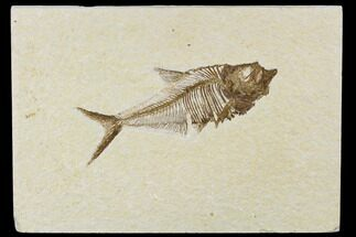 "Buy Detailed, 5"" Fossil Fish (Diplomystus) Plate - Wyoming - #113299"