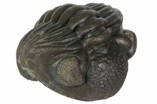 "Buy 1.2"" Wide, Enrolled Eldredgeops Trilobite - Ohio - #113305"